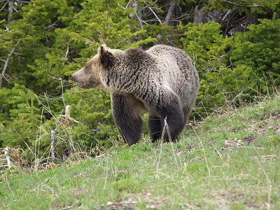 St. Mary's lake grizzly.  Subadult.