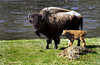 A buffalo cow with young in Yellowstone National Park, Wyoming, USA.