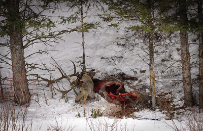 Coyote on a recent elk kill near Phantom lake.