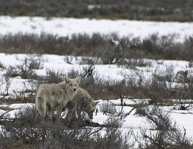 Scavagers (coyotes)