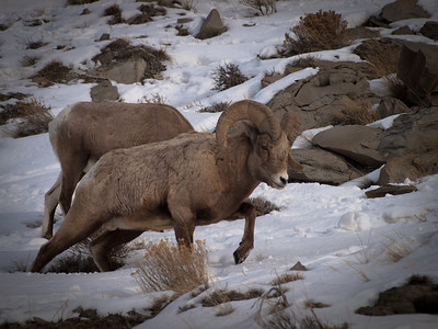 Big Horn ram just inside the North entrance to Yellowstone National Park.  South of Gardiner, near the Gardiner river.