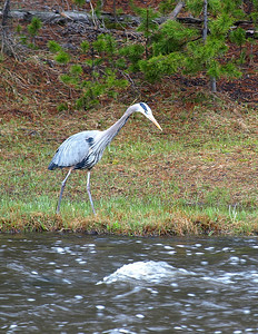 Great blue heron, fishing.