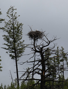 Famous eagle's nest near the Madison River.