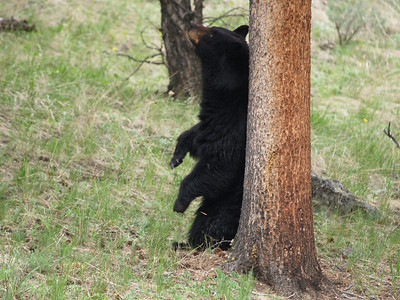 Big black boar scratching himself on a tree.