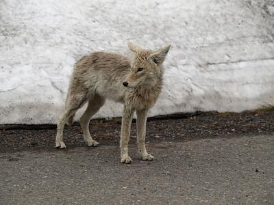Hungary coyote!