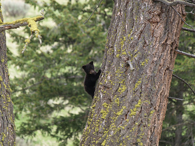 Black bear cub scaling tree.