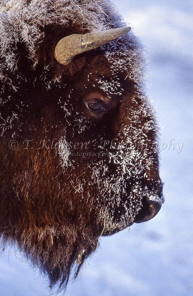 Closeup of a bison's head in the winter at Yellowstone National Park, Wyoming, USA.