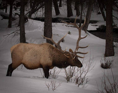 6x6 bull elk near Lava creek.