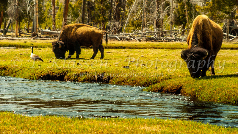 The bison of Yellowstone National Park, Wyoming, USA.