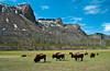Buffalos in a pasture in Yellowstone National Park, Wyoming, USA.
