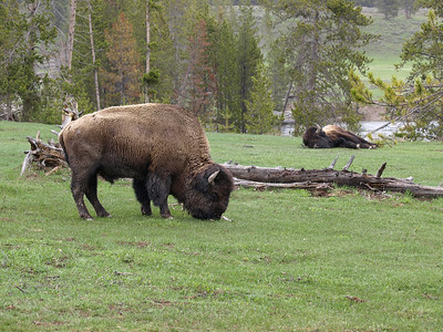 Sleeping buffalo.