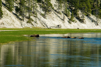 buffalo swimming
