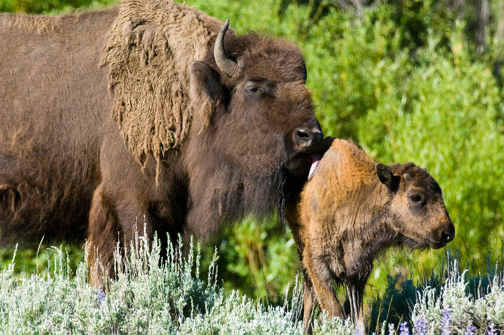 mother bison and young