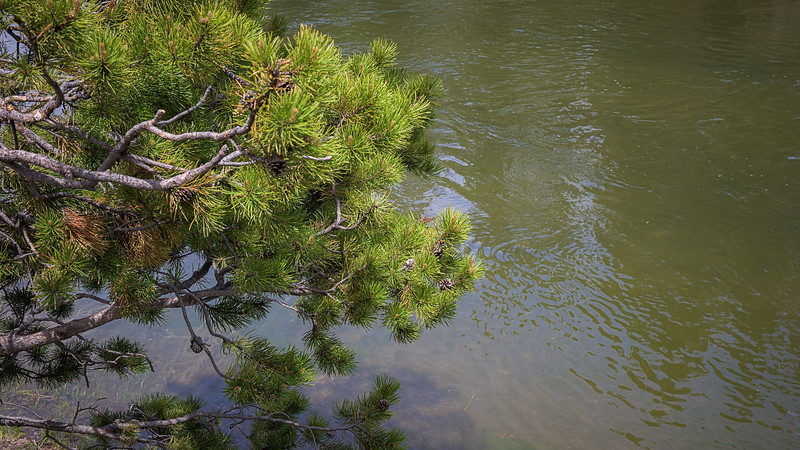 Pine Over River
