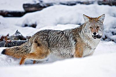 Coyote Snack
