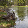 Tree Trunk Near Yellowstone River