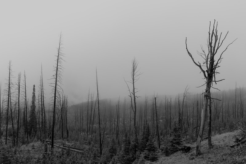 Burned Trees, Yellowstone National Park