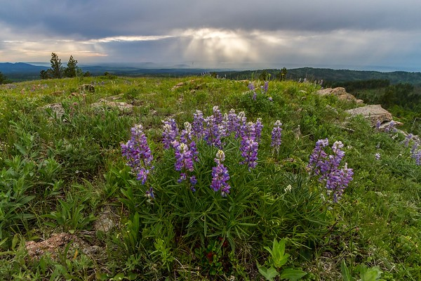 Lupine in bloom on Cement Ridge
