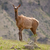 Imperious Elk on Mountainside