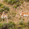 Two Pronghorns in Wyoming