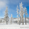 Frost Covered Pines along the Firehole River,