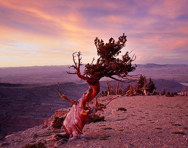 Lone twisted limber pine, Pinus flexilis, at rosy sunset with Sacajawea Ridge in background. Wind River Reservation, Shoshone Arapaho, Wyoming.