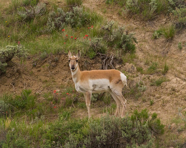 A Pronghorn in Wyoming
