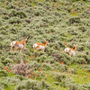 Three Pronghorns