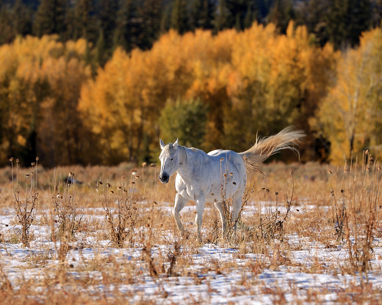 Horse and Autumn Foliage, Moran, WY