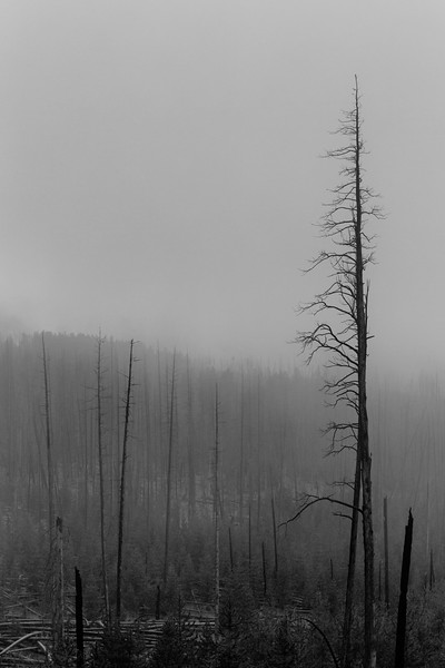 Dead Trees, Mount Washburn, WY