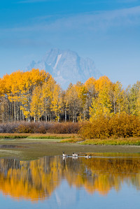 Canada geese at Oxbow Bend of the Snake River, with reflections of fall colored aspens beneath Mt. Moran, Grand Teton National Park, Wyoming.