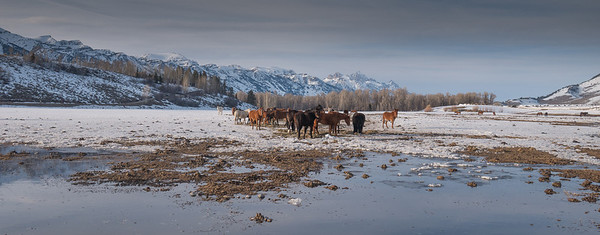 Horses and Grand Teton