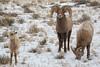 Bighorn Sheep Family