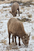 Bighorn Sheep