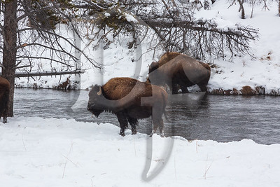Bison In Firehole River