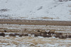 Sparring Bull Elk