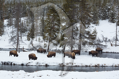 Firehole River Bison