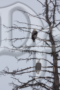 Roosting Bald Eagles