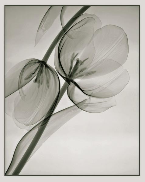 Two white tulipsQuadtone