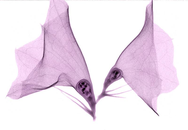 Two Petals