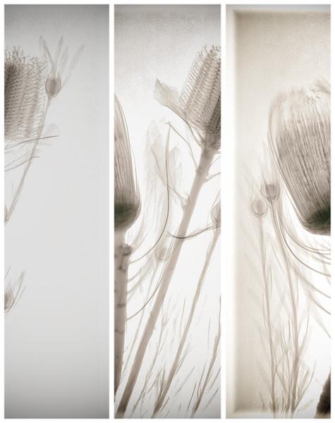 nerifloria-leucadendron-banksia triple