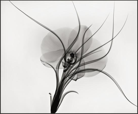 tilandsiaand phaleonopsis