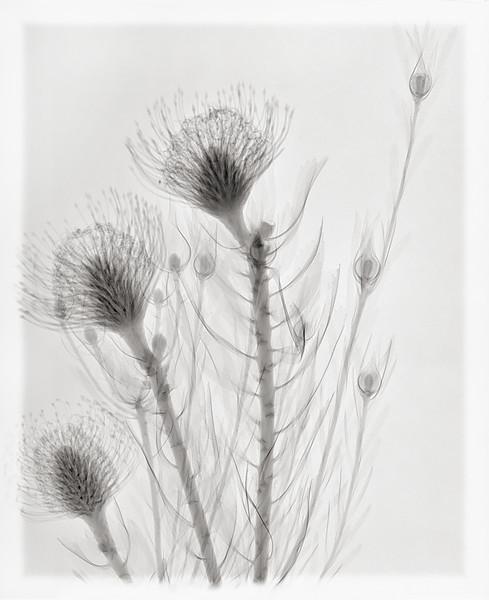 pincushions leucadendron