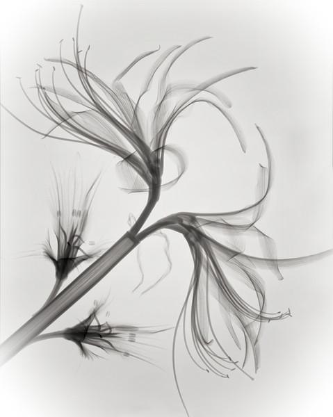 Amaryllis& alstroemeria