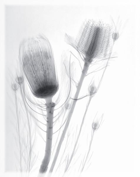 banksia-nerifloria-leucadendron