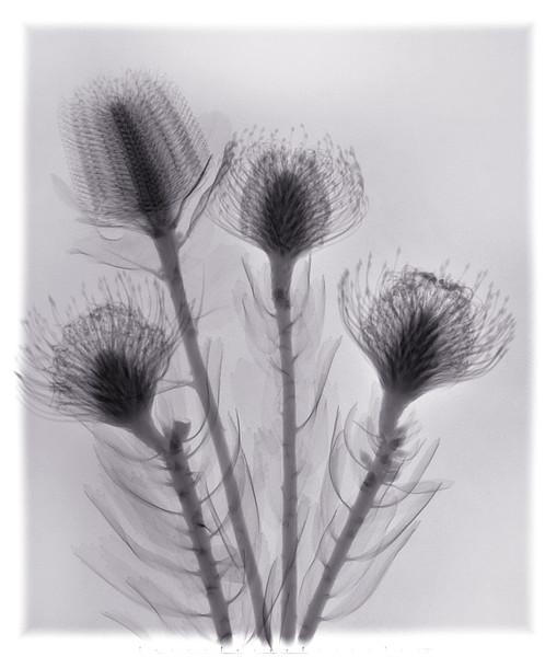 Four Proteas