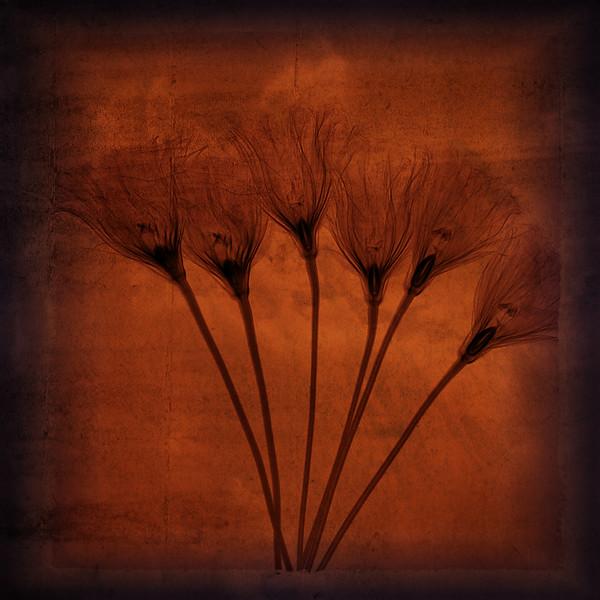Lisianthus Rothko x-ray