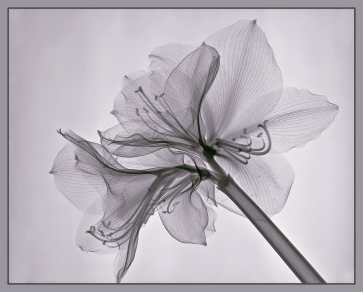 white amaryllis1
