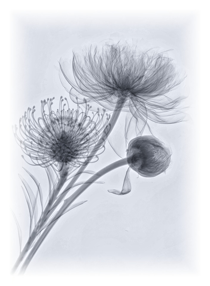 Bouquet 6 (Peonies, Pincushion Protea)
