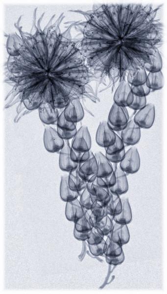 Blue Bells & Seed Pod